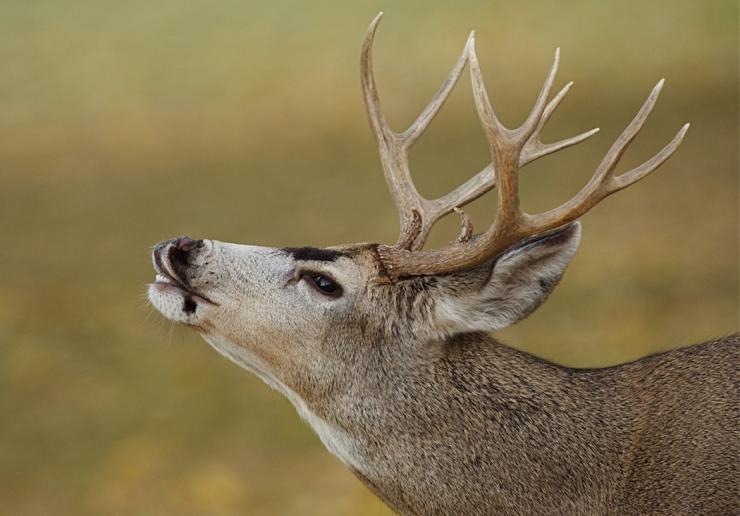 Photo of THE CONSISTENT MULE DEER HUNTER