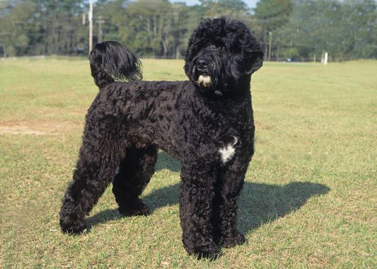 Portuguese Water Dog Best Hiking Dogs